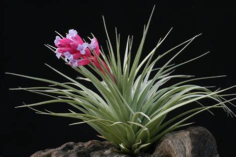 Indoor Vertical Gardening - plants amp flowers 187 tillandsia stricta