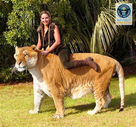 world s largest hercules hercules the world s largest cat liger breeds picture