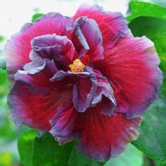 Maskara Nefertiti 1000 images about hibiscus on hibiscus plant
