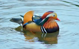 the world s most colorful duck 171 twistedsifter