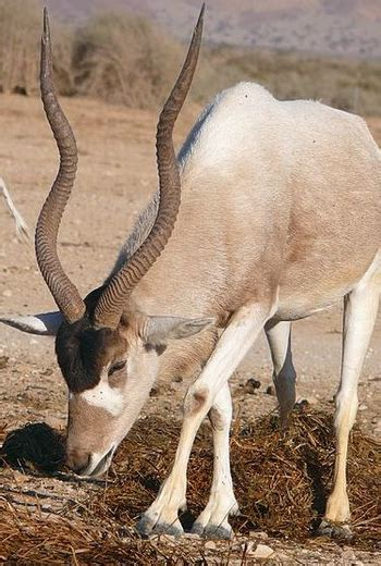 addax antelope facts lesson  kids studycom