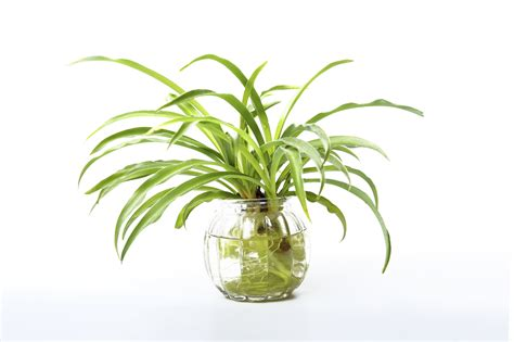 spider plant growing a spider plant in water leaving rooted spider