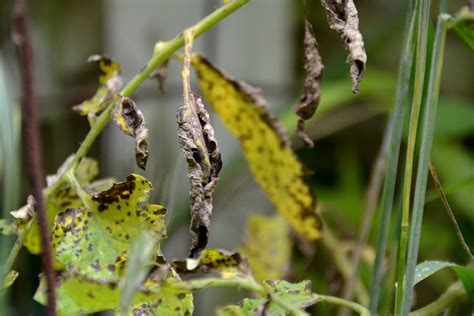 tomato plant leaf diseases pictures tips for growing disease free tomatoes pittsburgh post