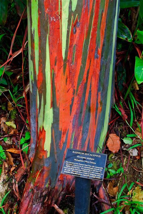 rainbow eucalyptus the rainbow eucalyptus ferrebeekeeper