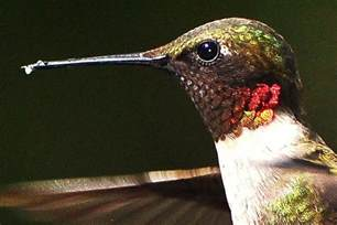 what food do hummingbirds eat