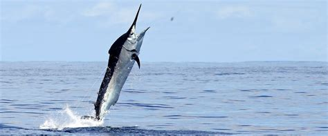 fishing boat charter honolulu deep sea fishing oahu oahu fishing charters barefoot tours