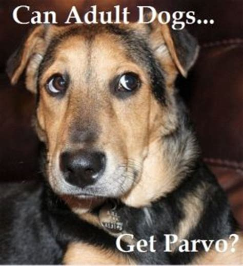 can dogs get parvo can dogs or dogs get parvo dogs health problems