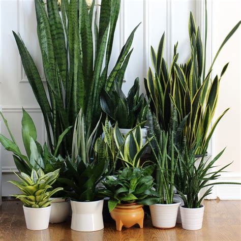 25 best ideas about snake plant on pinterest indoor plants low light sansevieria trifasciata