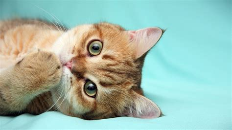 red cat   thoughtful  android wallpapers
