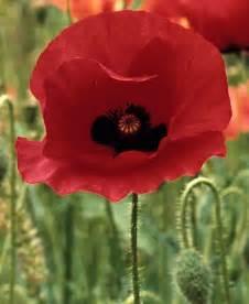 poppy flower red california golden poppies flowers