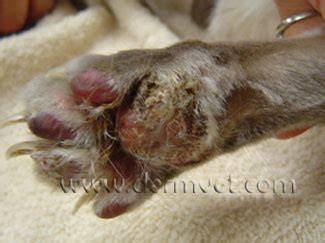 autoimmune diseases in dogs dermatology clinic for animals 187 pemphigus foliaceus
