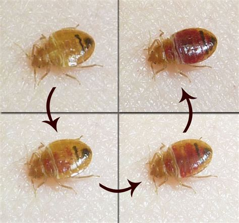 bed bugs in schools caes newswire bed bugs from school