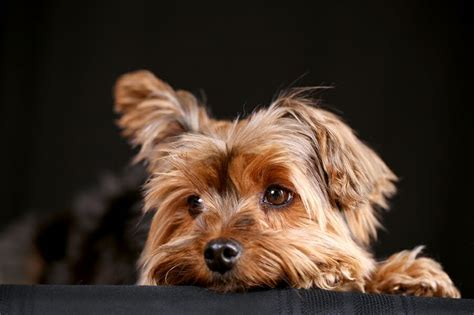 are yorkies hyper terrier can be hyper especially when they are puppies how to calm