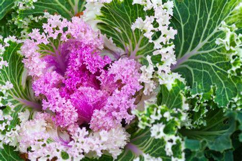 fiori inverno 10 piante resistenti al freddo che fioriscono in inverno