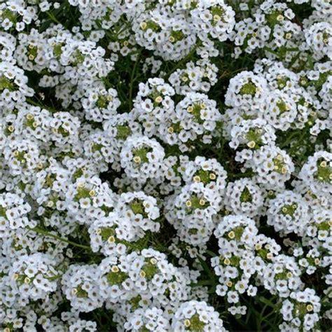 alisso fiore semi di alisso bianco tappeto di neve nano mondo piante