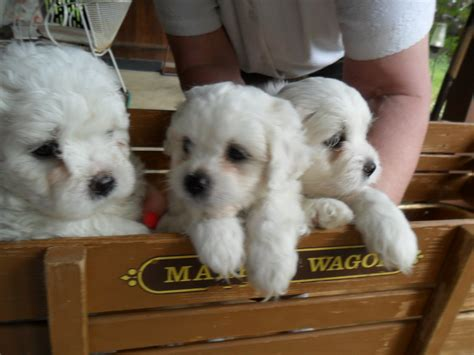 puppies for sale puppies for sale adorable puppies for sale