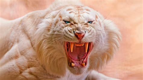 imagenes 4k wallpaper animales wallpaper white tiger roaring 4k animals 418