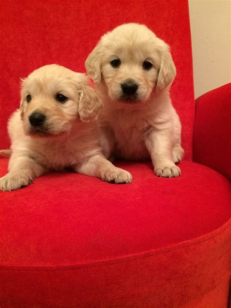 beautiful golden retriever puppies for sale beautiful golden retriever puppies for sale shifnal shropshire pets4homes