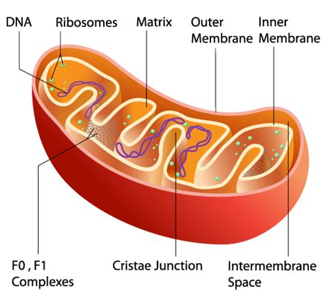 labelled diagram of a mitochondrion cell parts and functions study guide alyvea