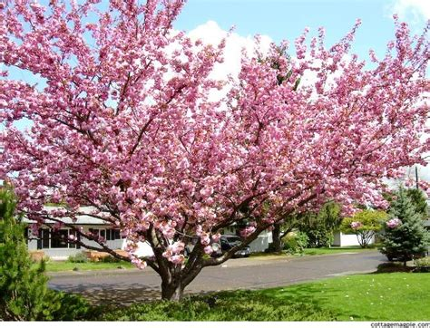 21 best images about prunus serrulata on trees prunus and traditional names