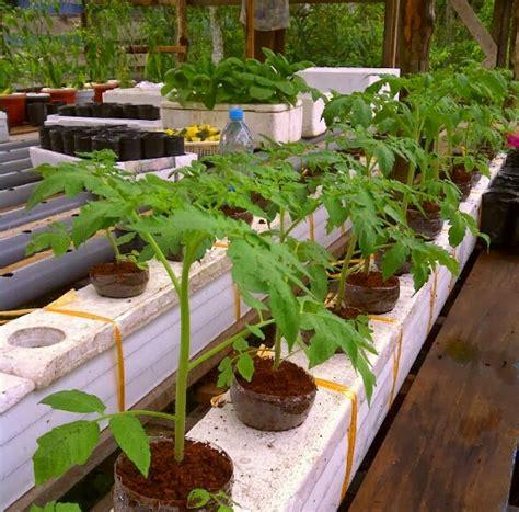 St Sarwendah cara menanam tomat dengan sistem hidroponik