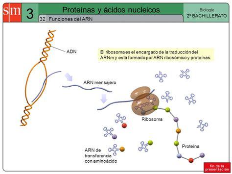 proteinas y acidos nucleicos prote 237 nas y 225 cidos nucleicos ppt descargar