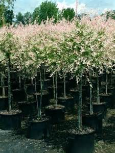 Flamingo Willow Patio Tree by Dappled Japanese Willow Salix Integra Flamingo From Van