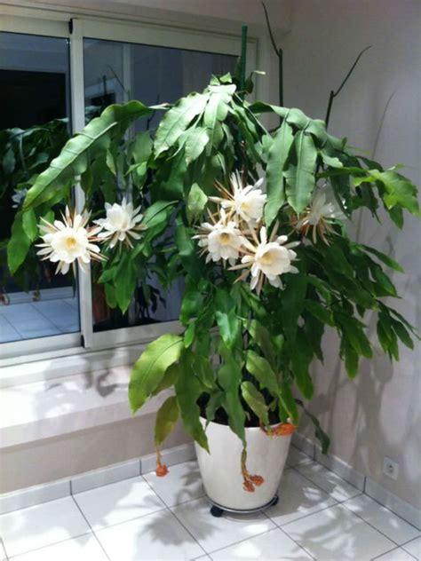epiphyllum oxypetalum queen   night world
