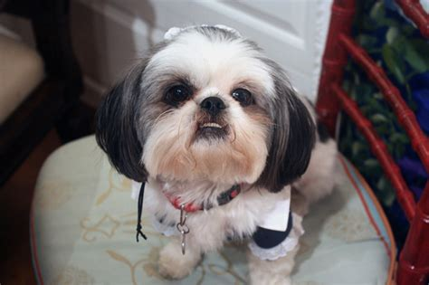 shih tzu tear stain remedies dogs tears stain their fur because of blood no really barkpost