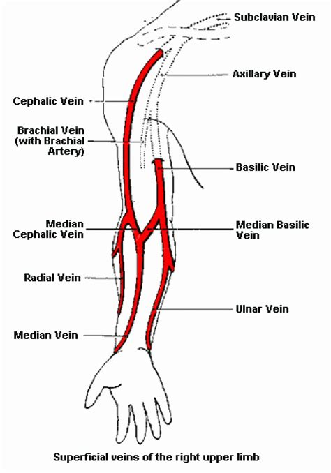 arteries and veins diagram the human diagram of veins in arm pictures to pin on