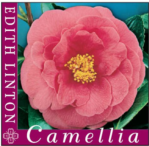 camellia japonica edith linton mm pot shade variety