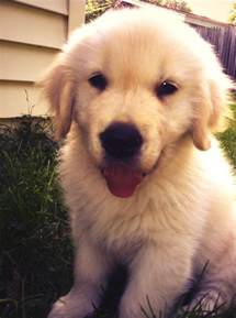 golden retriever puppy and baby best 25 baby golden retrievers ideas on golden retriever puppies golden