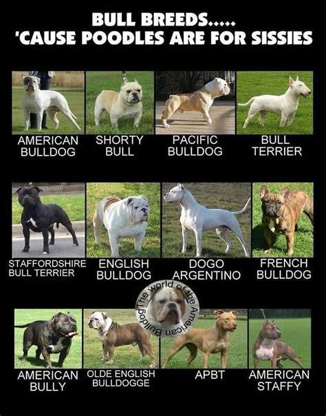 breed bully bully breeds list www pixshark images galleries with a bite