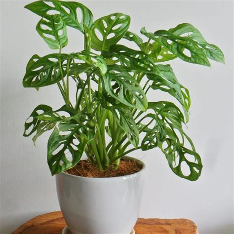 tanaman philodendron swiss tanduranid