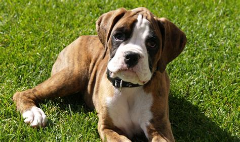 dog houses for sale in india boxer dog for sale in india puppy sale and purchase boxer lhasa apso the lhasa