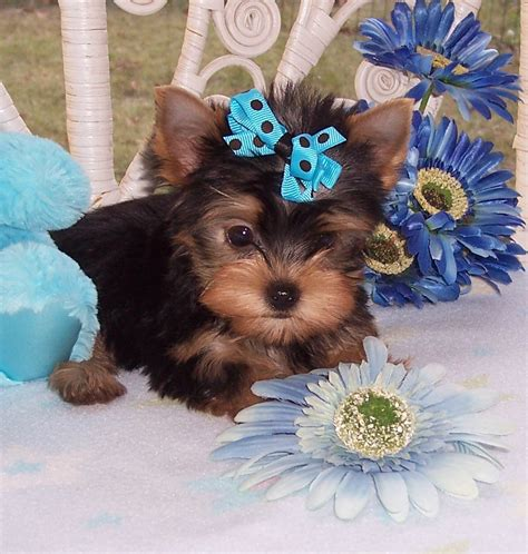 teacup yorkie florida teacup yorkie for sale south florida pictures of puppies litle pups