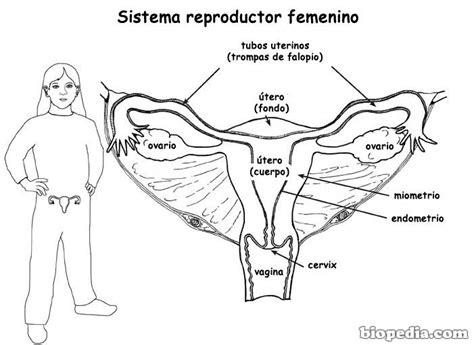 aparato reproductor masculino aparato reproductor masculino blanco y negro www