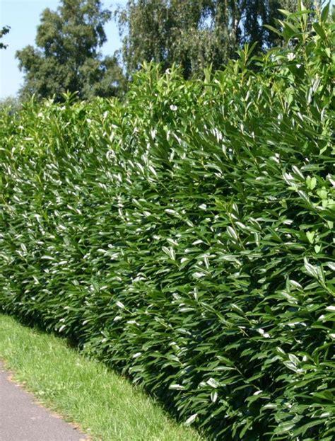 wann lorbeerhecke schneiden prunus laurocerasus caucasica 30 50cm
