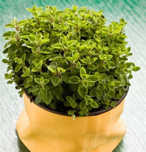 piante per cucina origano pianta aromatica in vaso per cucina prezzo e