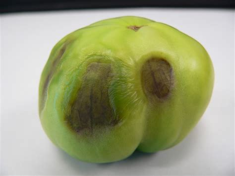 a fruit is most commonly beware of the upcoming heat drought stress in vegetables