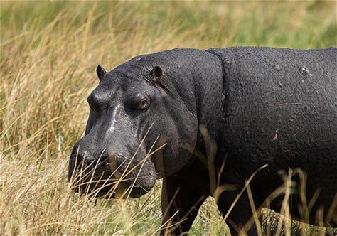 Hippo Black hippos rhinos a gallery on flickr