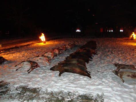 driven hunt  runowo hunting  poland