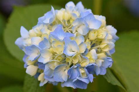 Tanaman Blue Mophead Hydrangea 50 gambar bunga dan tanamah hias terindah di dunia gambar hd salamadian