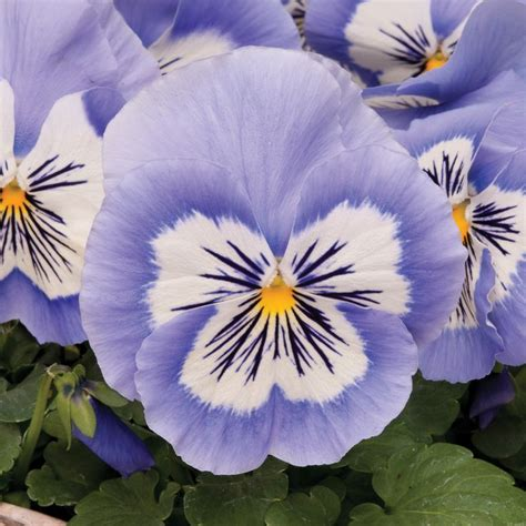 Mr Fothergills Pansy Frou Frou Mixed 407 best images about pansies on gardens pansy flower and perennials