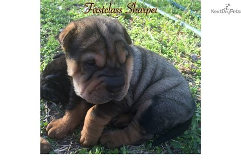 shar pei puppies for sale nc shar pei puppy for sale near fayetteville carolina 737f4213 b291