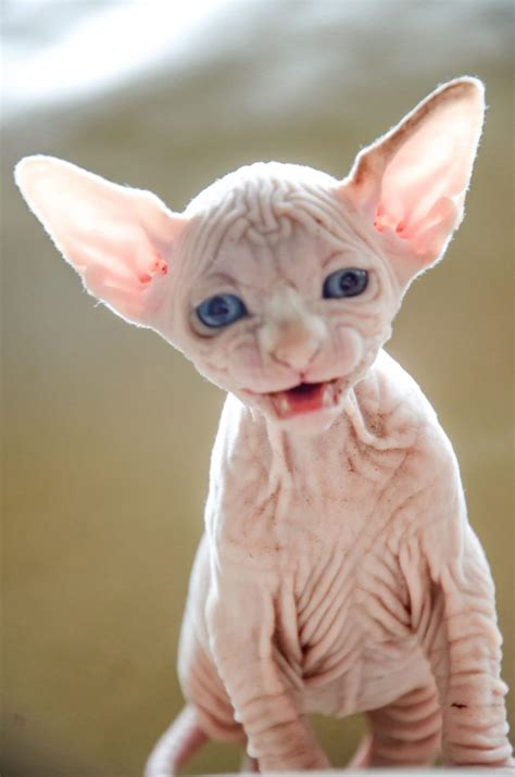 cat price buy sphynx cat sphynx cat prices sphynx cats ny