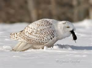 snowy owls eating