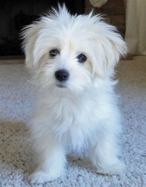 maltese mix puppies maltese poodle mix rescue breeds picture