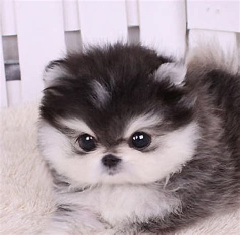 teacup husky pomeranian mix the gallery for gt pomeranian husky teacup