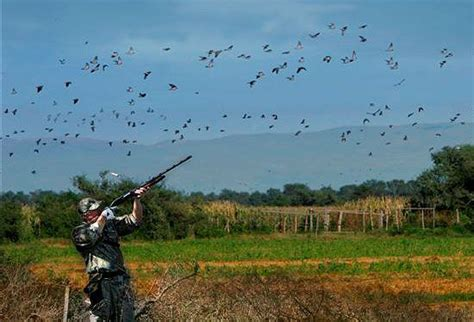 the basics of dove hunting wildlife resources